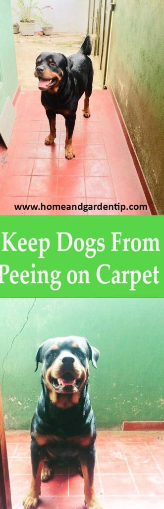 Keep Dogs From Peeing on Carpet