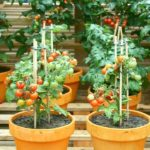 5 Tips for Growing Tomatoes in Containers – Garden Tips