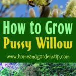 How to Grow Pussy Willow