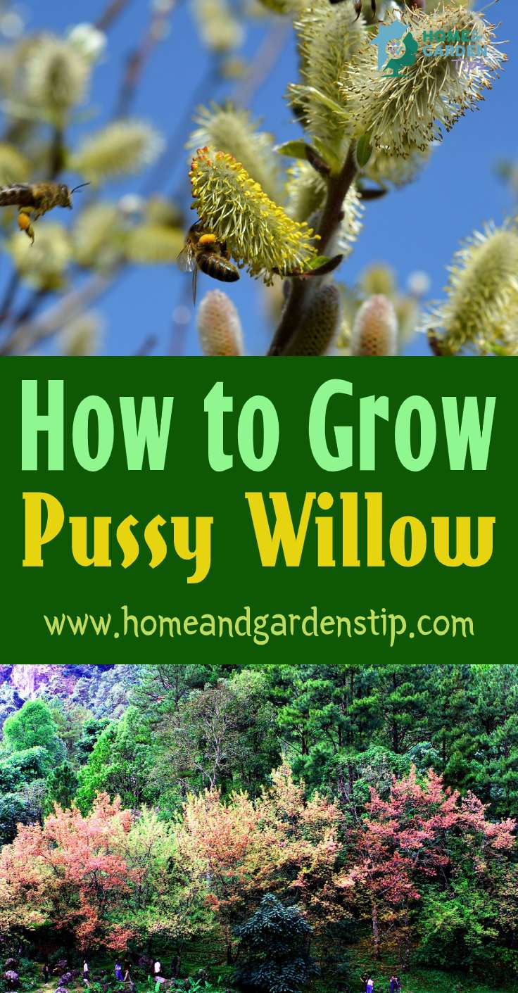You are currently viewing How to Grow Pussy Willow