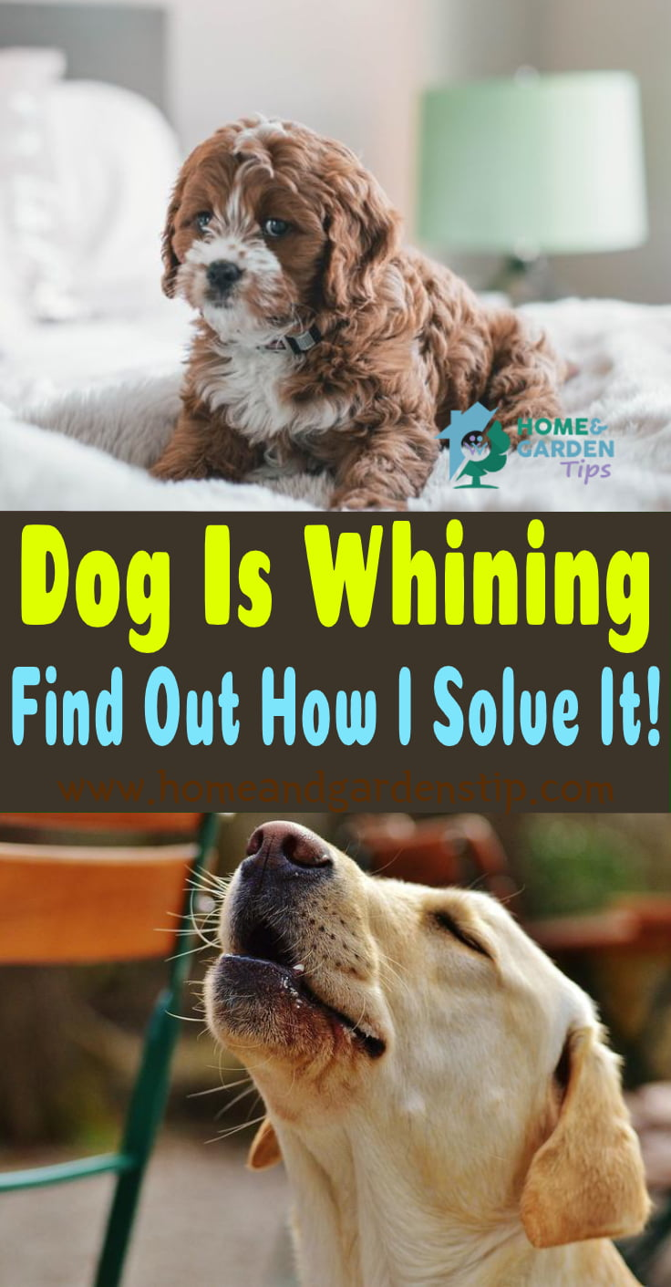 My Dog Is Whining! Find Out How I Solve It!