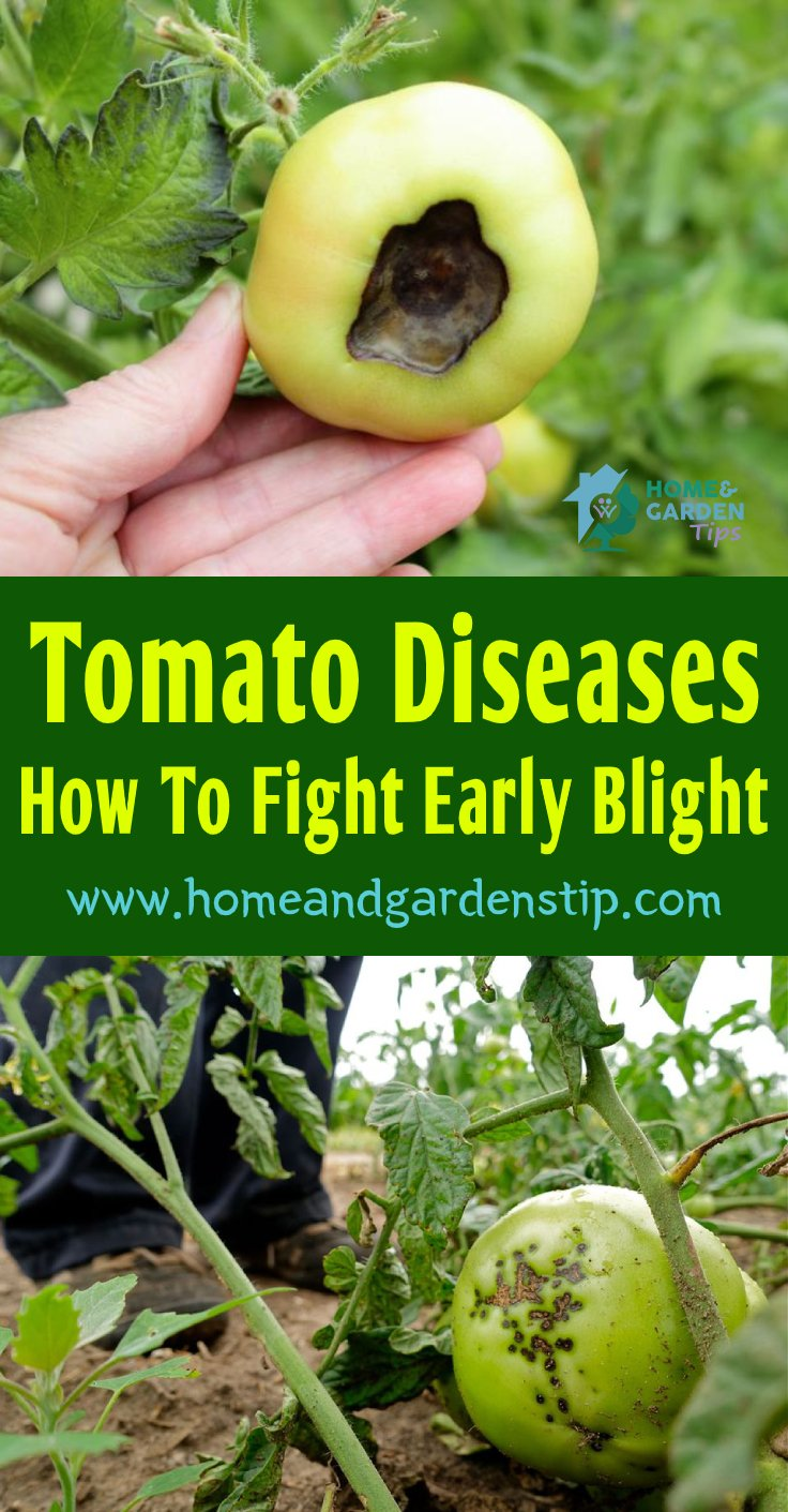 You are currently viewing Tomato Diseases: How To Fight Early Blight