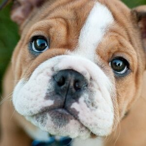 Training an Untrained Bulldog – 3 Steps to a Happy Dog