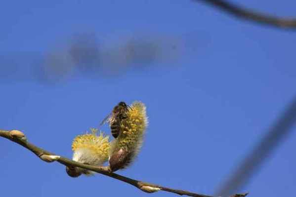 Grow Pussy Willow