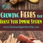 Growing Herbs That Boost Your Immune System