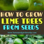 HOW TO GROW LIME TREES FROM SEEDS