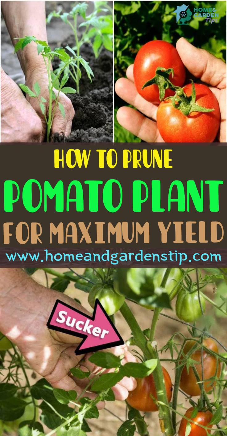HOW TO PRUNE TOMATO PLANTS FOR MAXIMUM YIELD