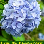 How To Propagate Hydrangeas