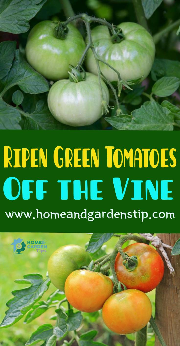 How to Ripen Green Tomatoes Off the Vine