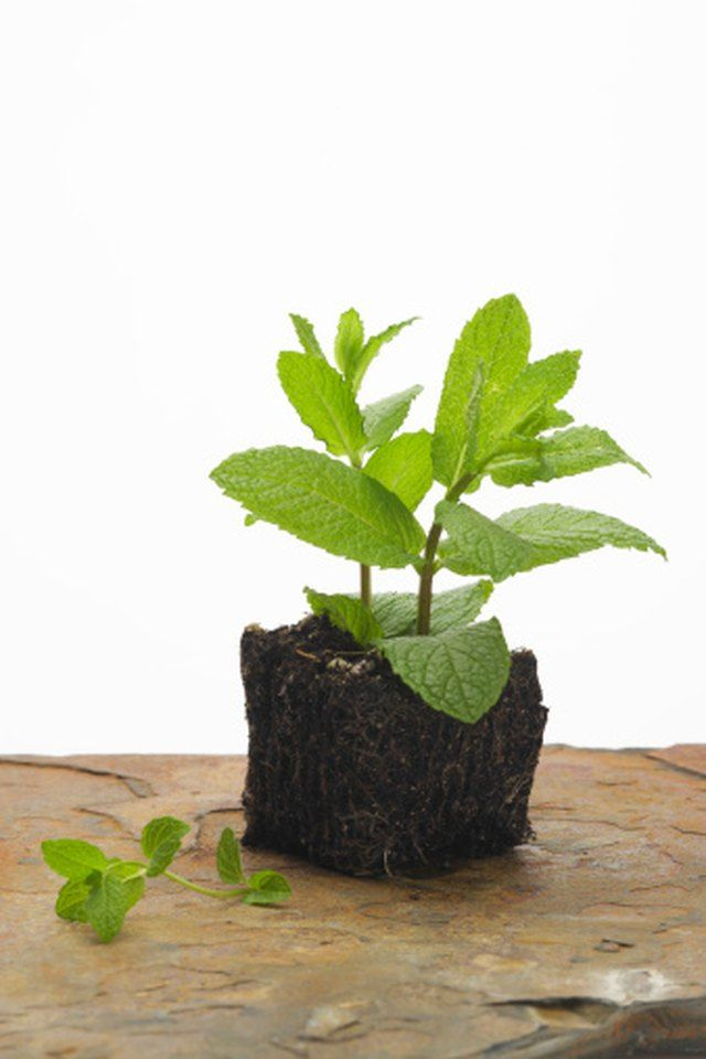 Balcony plants Mint Leaves Turning Yellow? Rescue Your Plants Today!